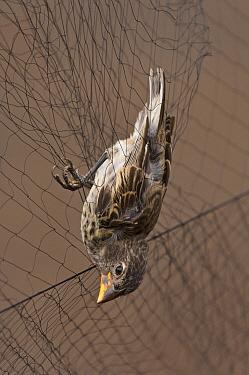 Medium Ground Finch (Geospiza fortis) caught in mist net to be studied for avian pox, Puerto Ayora, Santa Cruz Island, Galapagos Islands, Ecuador  -  Pete Oxford