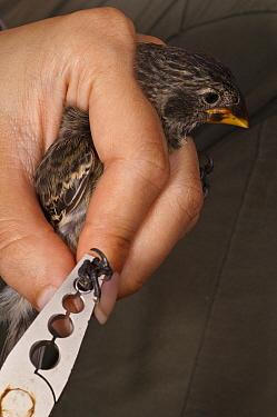 Medium Ground Finch (Geospiza fortis) getting banded, part of avian pox research, Puerto Ayora, Santa Cruz Island, Galapagos Islands, Ecuador  -  Pete Oxford