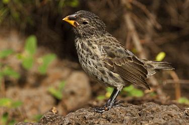Medium Ground Finch (Geospiza fortis), Puerto Ayora, Santa Cruz Island, Galapagos Islands, Ecuador  -  Pete Oxford