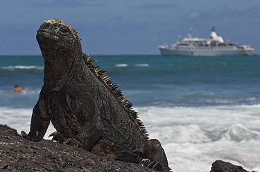 Marine Iguana (Amblyrhynchus cristatus) with cruise ship in background, Puerto Ayora, Santa Cruz Island, Galapagos Islands, Ecuador  -  Pete Oxford