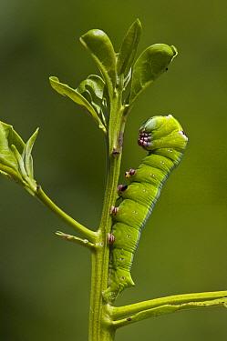 Ello Sphinx Moth (Erinnyis ello) caterpillar on mangrove sprout, Puerto Ayora, Santa Cruz Island, Galapagos Islands, Ecuador  -  Pete Oxford