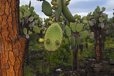 Opuntia (Opuntia echios) cacti with fruit, Tortuga Bay, Santa Cruz Island, Galapagos Islands, Ecuador  -  Pete Oxford
