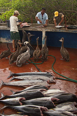 Galapagos Sea Lion (Zalophus wollebaeki) and Brown Pelicans (Pelecanus occidentalis) being fed fish guts from fisherman in market, Puerto Ayora, Santa Cruz Island, Galapagos Islands, Ecuador  -  Pete Oxford