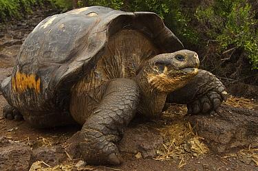 Galapagos Giant Tortoise (Chelonoidis nigra), Charles Darwin Research Station, Puerto Ayora, Santa Cruz Island, Galapagos Islands, Ecuador  -  Pete Oxford