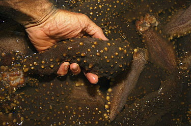 Sea Cucumber (Actinopyga lecanora) harvest, Puerto Ayora, Santa Cruz Island, Galapagos Islands, Ecuador  -  Pete Oxford