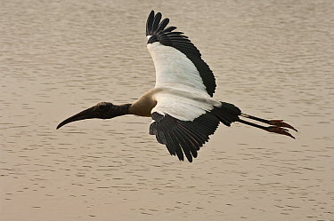 Wood Stork (Mycteria americana) flying, Pantanal, Brazil  -  Pete Oxford