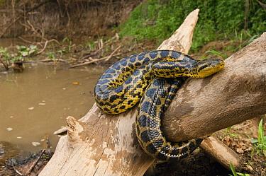 Yellow Anaconda (Eunectes notaeus) on branch near river, Pantanal, Brazil  -  Pete Oxford