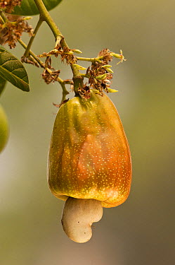 Cashew (Anacardium occidentale) nut with ripening cashew apple, Pantanal, Brazil  -  Pete Oxford