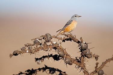 Rufous-tailed Rock-Thrush (Monticola saxatilis) on Whistling Thorn (Acacia drepanolobium), Laikipia, Kenya  -  Tui De Roy