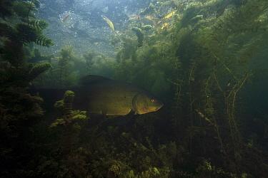 Tench (Tinca tinca) fish swimming among pond vegetation, Yonne, France  -  Cyril Ruoso