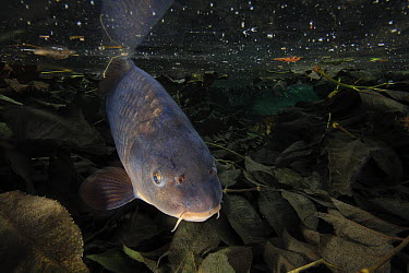 European Carp (Cyprinus carpio) in shallow pond, Yonne, France  -  Cyril Ruoso