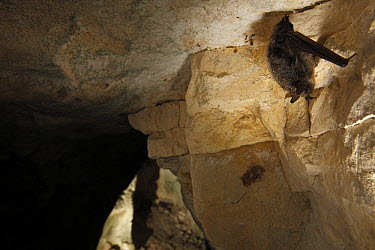 Whiskered Bat (Myotis mystacinus) wintering in a cave covered with condensation, Yonne, France  -  Cyril Ruoso