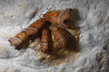 Herald Moth (Scoliopteryx libatrix) group wintering in a cave, Yonne, France  -  Cyril Ruoso