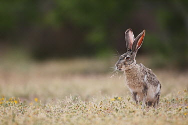 Black-tailed Jackrabbit (Lepus californicus), southern Texas  -  Cyril Ruoso