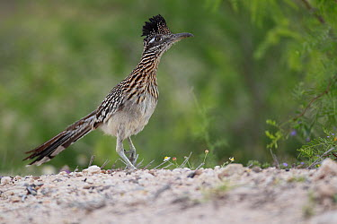 Greater Roadrunner (Geococcyx californianus), southern Texas  -  Cyril Ruoso