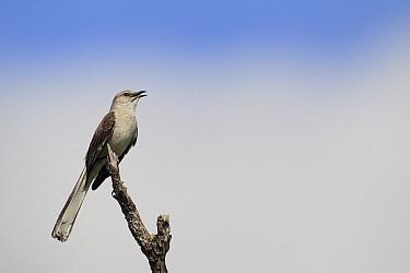 Northern Mockingbird (Mimus polyglottos) singing, southern Texas  -  Cyril Ruoso