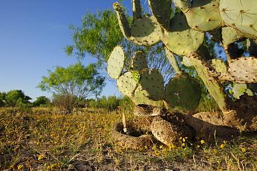 Western Diamondback Rattlesnake (Crotalus atrox) coiled under cactus, southern Texas  -  Cyril Ruoso