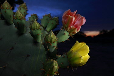 Engelmann Prickly Pear (Opuntia engelmannii) cactus blooming at night, southern Texas  -  Cyril Ruoso