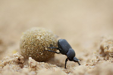 Dung Beetle (Rutela sp) rolling dung ball, southern Texas  -  Cyril Ruoso