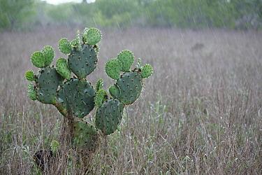Engelmann Prickly Pear (Opuntia engelmannii) cactus in rain, southern Texas  -  Cyril Ruoso