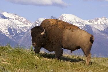 American Bison (Bison bison) bulls, National Bison Range, Moise, Montana  -  Donald M. Jones