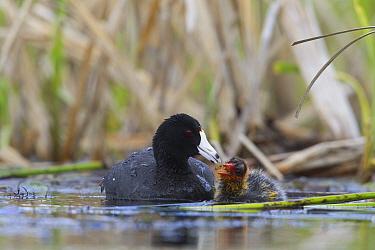American Coot (Fulica americana) feeding chick, southern British Columbia, Canada  -  Donald M. Jones