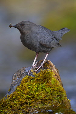 American Dipper (Cinclus mexicanus), Obrian Creek, northwest Montana  -  Donald M. Jones