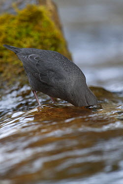 American Dipper (Cinclus mexicanus) looking for food under water, Obrian Creek, northwest Montana  -  Donald M. Jones