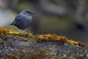 American Dipper (Cinclus mexicanus), northwest Montana  -  Donald M. Jones