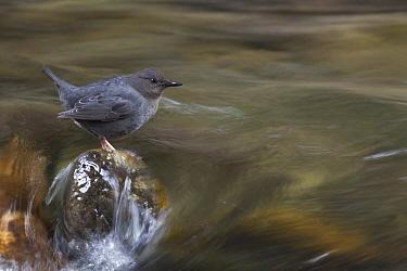 American Dipper (Cinclus mexicanus) sitting on rock in swift moving creek, northwest Montana  -  Donald M. Jones