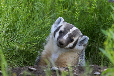 American Badger (Taxidea taxus) cub at den, western Montana  -  Donald M. Jones