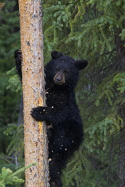 Black Bear (Ursus americanus) yearling cub up in a Lodgepole Pine (Larix laricina), Alberta, Canada  -  Donald M. Jones