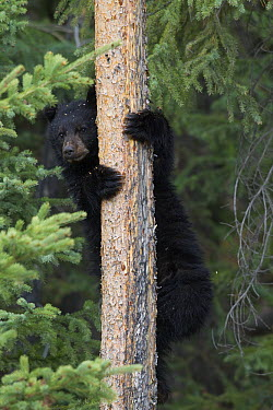 Black Bear (Ursus americanus) yearling cub up in a Lodgepole Pine (Larix laricina), Alberta, Canada  -  Donald M. Jones