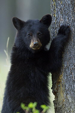 Black Bear (Ursus americanus) yearling cub at base of spruce tree, Alberta, Canada  -  Donald M. Jones
