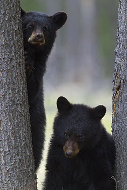Black Bear (Ursus americanus) yearling cubs at base of spruce tree, Alberta, Canada  -  Donald M. Jones