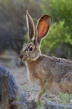 Black-tailed Jackrabbit (Lepus californicus) in desert, Tucson, Arizona  -  Donald M. Jones