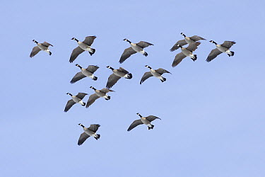 Canada Goose (Branta canadensis) flying in formation, central Montana  -  Donald M. Jones