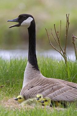 Canada Goose (Branta canadensis) at nest with gosslings, northwest Montana  -  Donald M. Jones