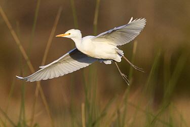 Cattle Egret (Bubulcus ibis) flying, Sarasota, Florida  -  Donald M. Jones