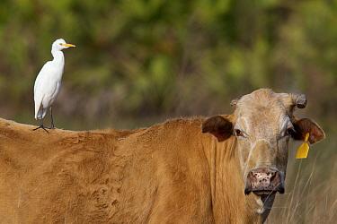 Cattle Egret (Bubulcus ibis) sitting on a cow, Sarasota, Florida  -  Donald M. Jones