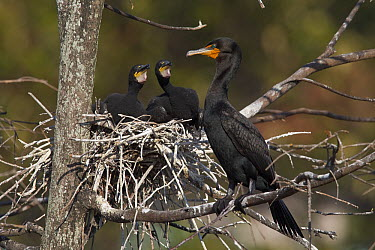 Double-crested Cormorant (Phalacrocorax auritus) at nest with two chicks, western Montana  -  Donald M. Jones