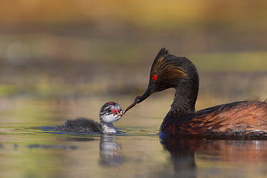 Eared Grebe (Podiceps nigricollis) feeding newborn chick, central Montana  -  Donald M. Jones