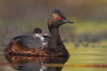 Eared Grebe (Podiceps nigricollis) mother carrying newborn chick, central Montana  -  Donald M. Jones