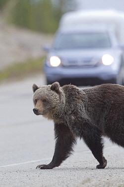 Grizzly Bear (Ursus arctos horribilis) walking across busy highway, western Alberta, Canada  -  Donald M. Jones