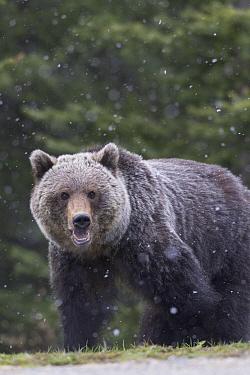 Grizzly Bear (Ursus arctos horribilis) during light spring snowfall, western Canada  -  Donald M. Jones