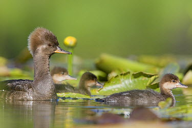 Hooded Merganser (Lophodytes cucullatus) female with young in lilly pads, western Montana  -  Donald M. Jones