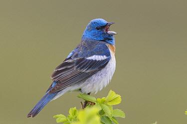 Lazuli Bunting (Passerina amoena) male singing, western Montana  -  Donald M. Jones