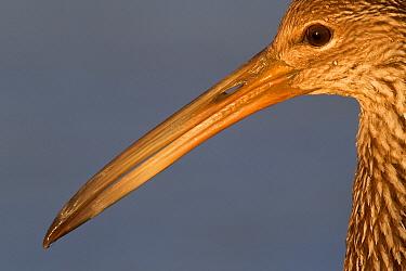 Limpkin (Aramus guarauna), Sarasota, Florida  -  Donald M. Jones