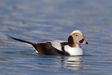 Long-tailed Duck (Clangula hyemalis) drake in winter plumage, Prince William Sound, Alaska  -  Donald M. Jones