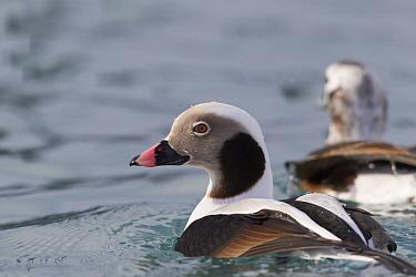 Long-tailed Duck (Clangula hyemalis) drake and hen in winter plumage, Prince William Sound, Alaska  -  Donald M. Jones